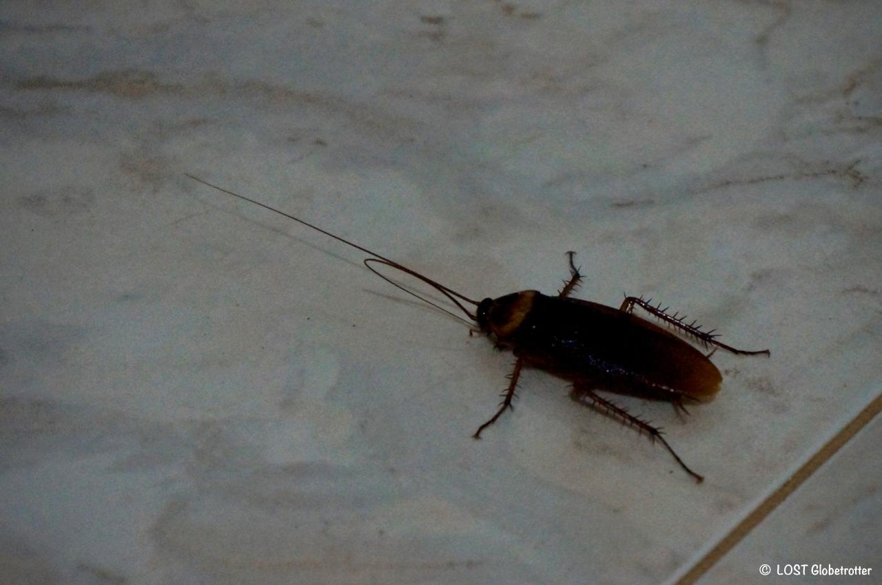 Megašváb v apartmánu v Dambulla, Srí Lanka